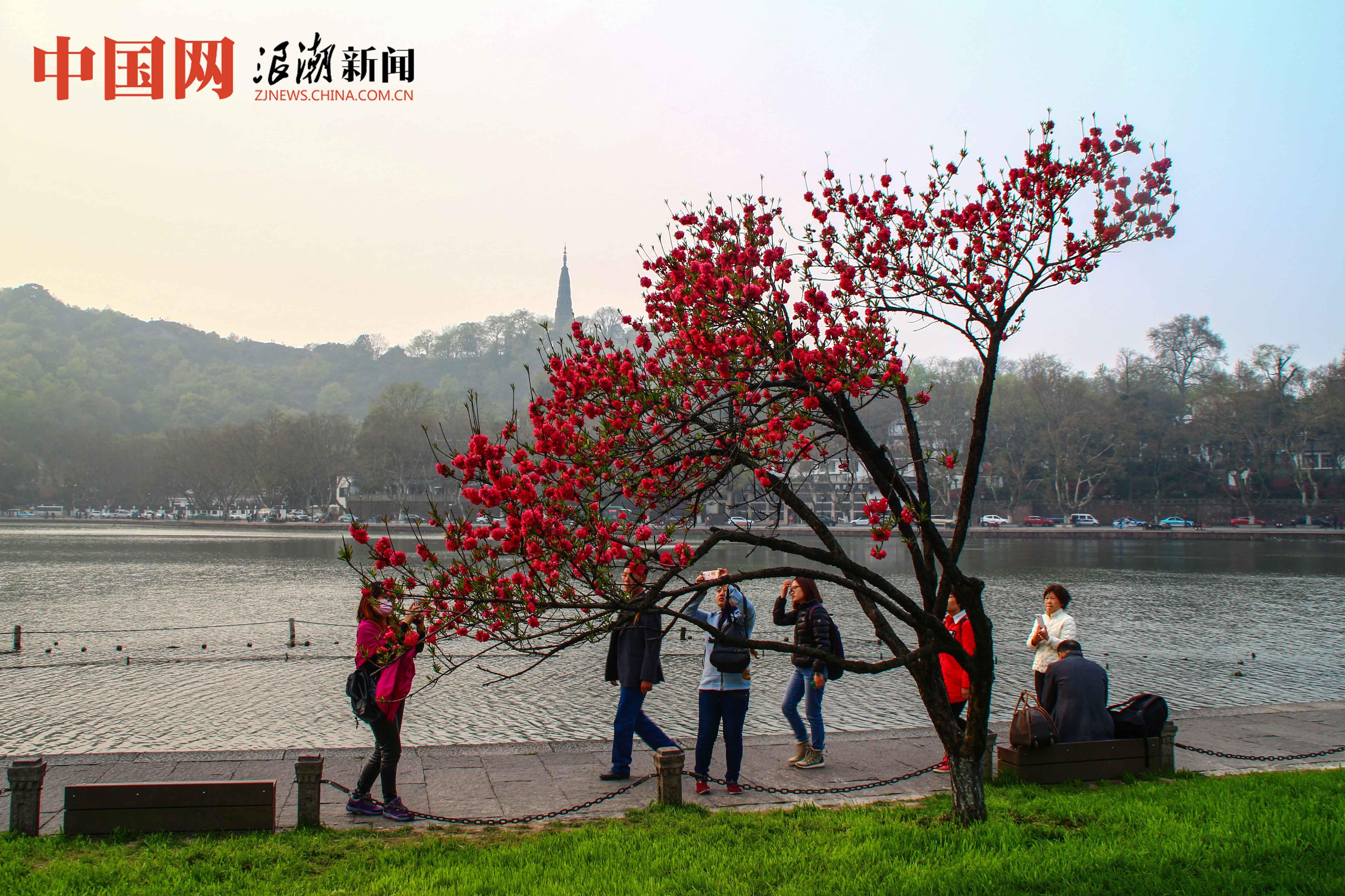 杭州西湖盛开的桃花如临水梳妆的美人(组图)