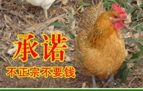 農家土雞 11個月母雞